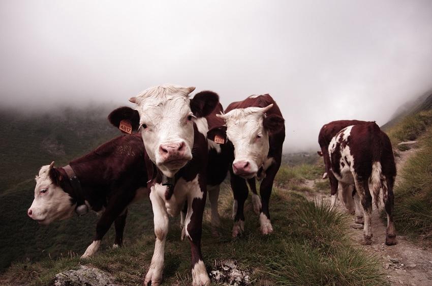 vacas na capa do poste sobre documentários na netflix
